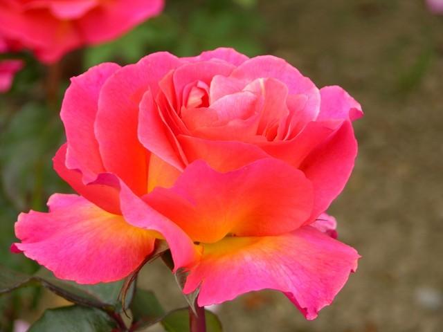 rose-garden-in-tralee-2-1390577-640x480